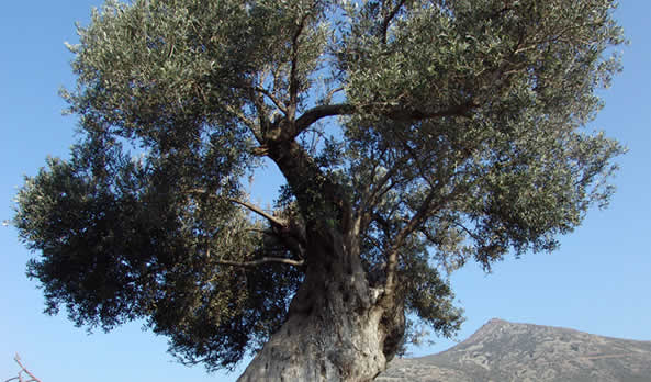 The Oliveoil of Aegina – The Golden Treasure