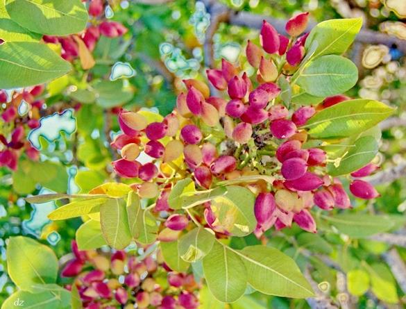 pistachios aegina