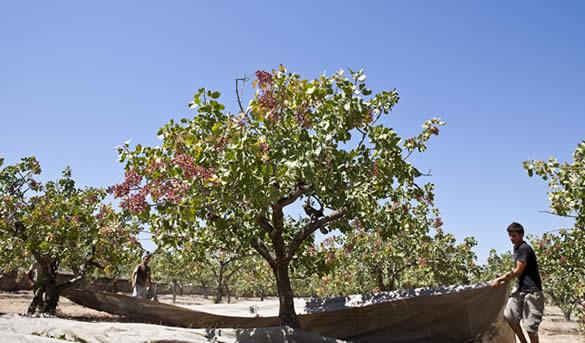 Η Βιολογική Καλλιέργεια στην Αίγινα